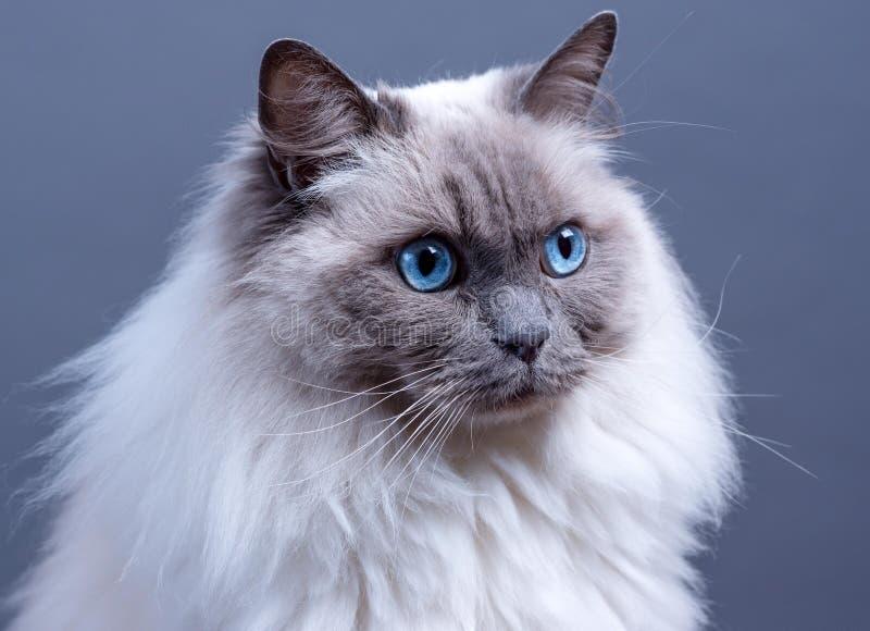 Ragdoll för blå punkt som katt stirrar in i avståndet fotografering för bildbyråer