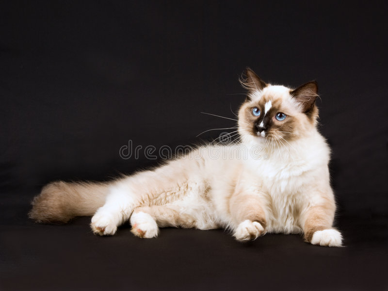 ragdoll för svart gullig kattunge för bakgrund nätt royaltyfri bild
