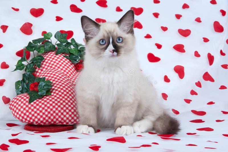 Ragdoll Kätzchen, das auf Innerdruckgewebe sitzt stockbilder