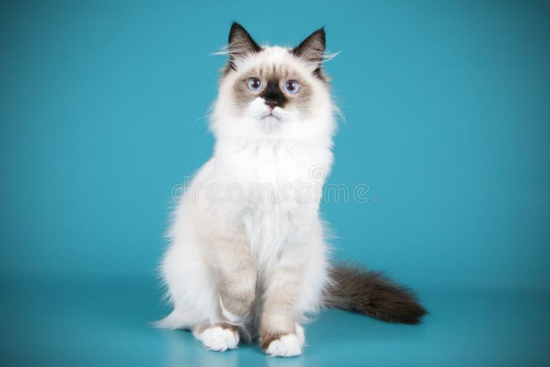 Ragdoll katt på kulöra bakgrunder arkivfoton