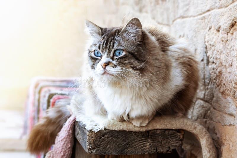 Ragdoll katt som vilar under dagen arkivfoto