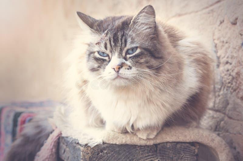 Ragdoll katt som vilar under dagen fotografering för bildbyråer