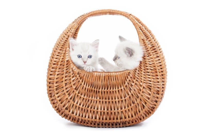 Ragdoll kattungar i klockakorg royaltyfria foton