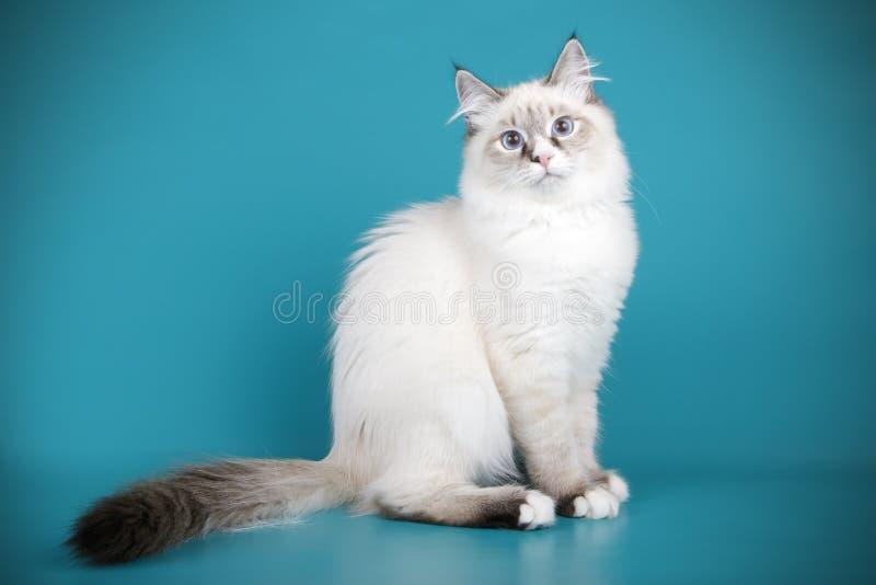 Ragdoll-Katze auf farbigen Hintergründen stockbild
