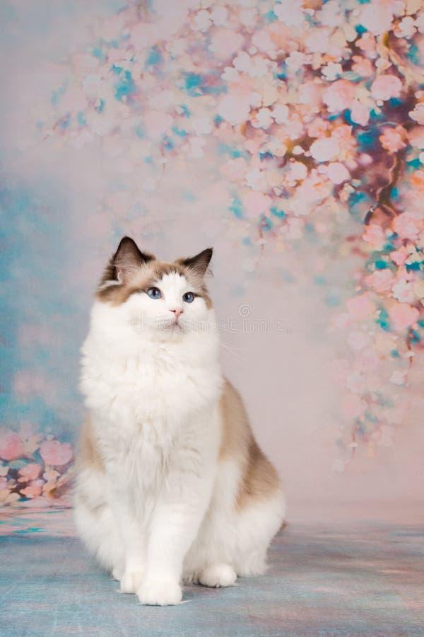 Ragdoll-Katze am romantischen Hintergrund lizenzfreie stockbilder
