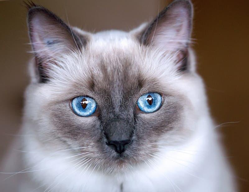 Ragdoll kitten royalty free stock image