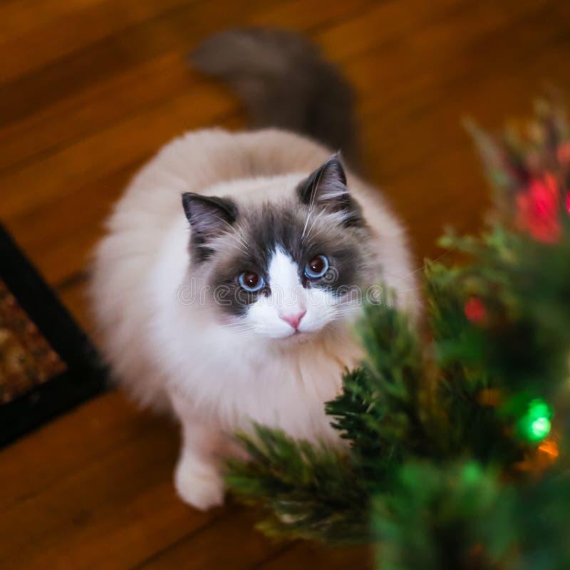 Ragdoll Kitten With Beautiful Blue Eyes perto da árvore de Natal imagens de stock