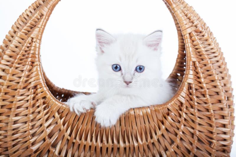 Ragdoll kitten in bell basket royalty free stock photography