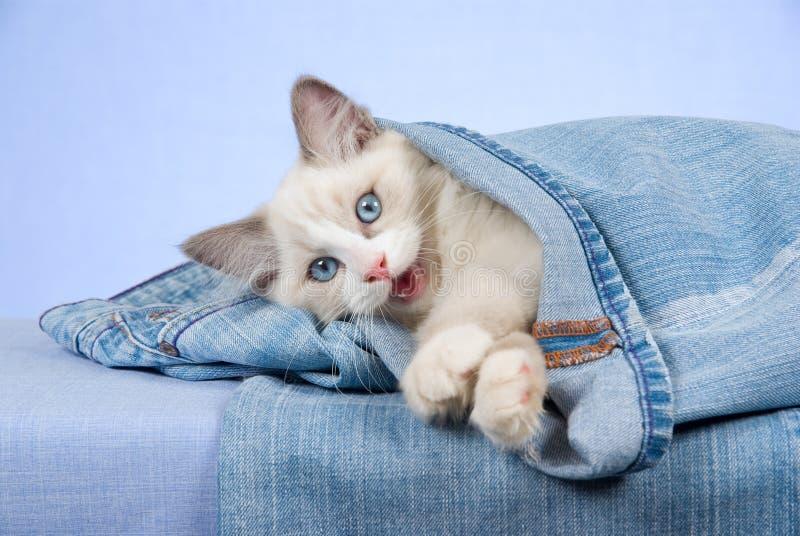 Ragdoll kitten in blue jeans denim pants. Ragdoll kitten lying inside denim jeans pants, on blue background royalty free stock photos
