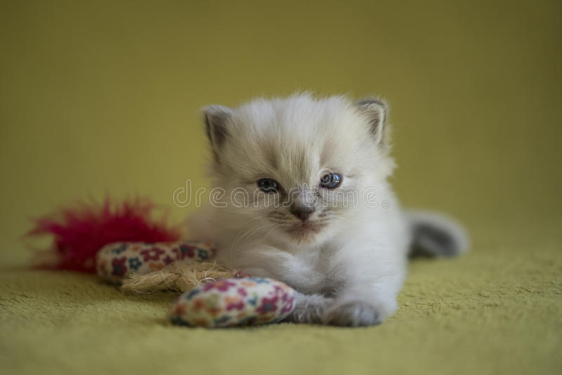 Ragdoll Kitten. A cute little ragdoll kitten posed with a cat toy royalty free stock photo