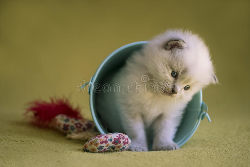 Ragdoll Kitten. A cute little ragdoll kitten posed with a small blue bucket on a green blanket royalty free stock photography