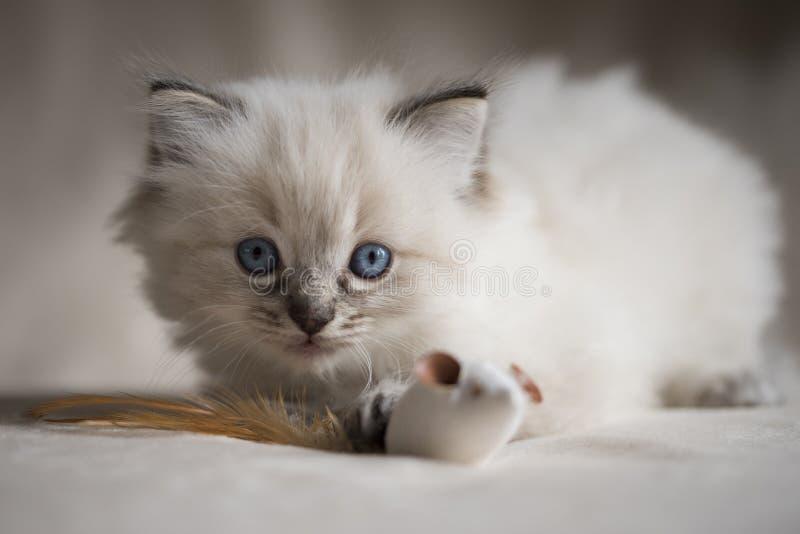 Ragdoll Kitten royalty free stock images