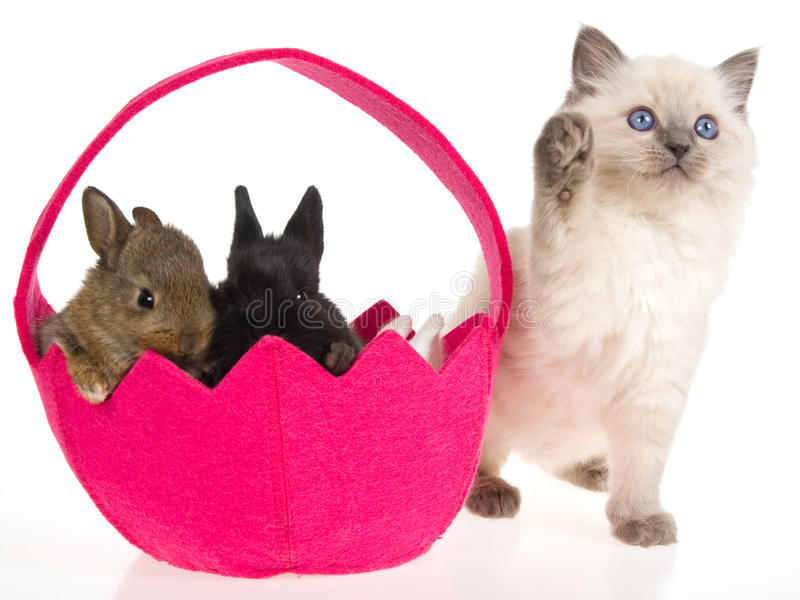 Ragdoll kitten with Easter bunnies royalty free stock photos
