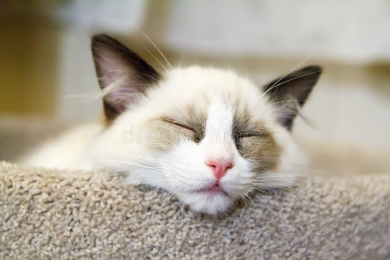 Ragdoll Kitten Sleeping. A tiny white ragdoll kitten asleep on a scratching post stock photos