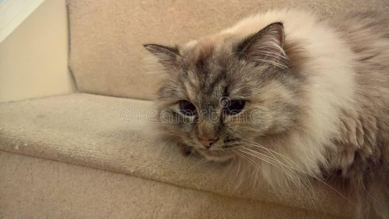 Ragdoll Kitten On Stairs fotografia stock libera da diritti
