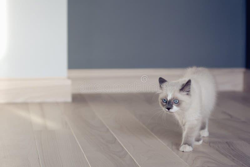 Ragdoll kitten walking at home stock image