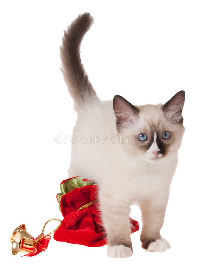 Ragdoll kitten with xmas gifts isolated on white. Seal Ragdoll kitten with christmas ornaments isolated on white stock photography