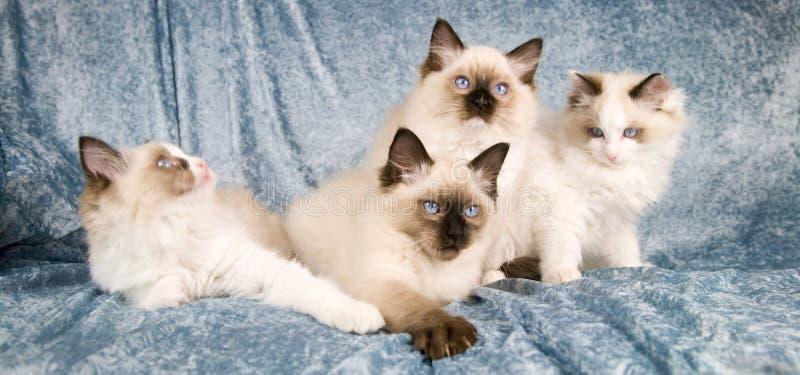 Ragdoll kittens royalty free stock photography