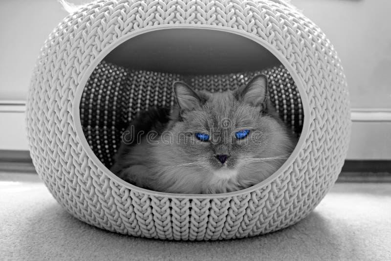 Ragdoll kot śpi w wygodnym zwierzę domowe domu z niebieskimi oczami zdjęcia royalty free
