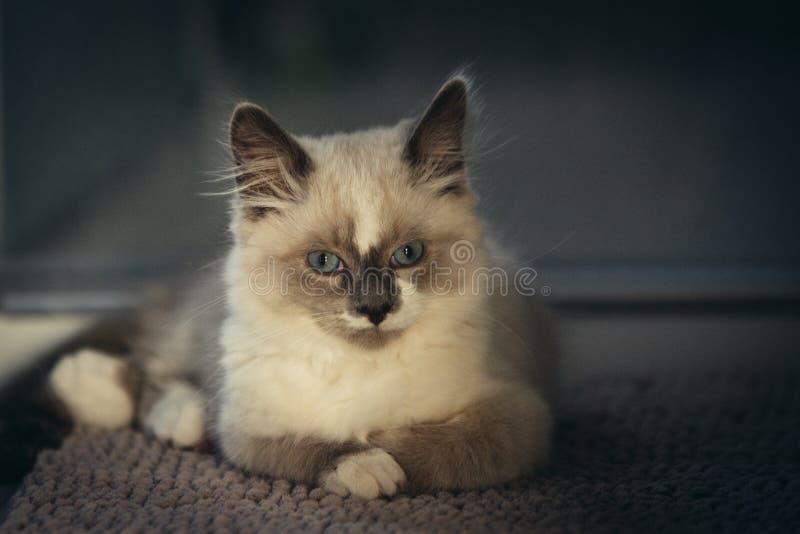 Ragdoll kot pozuje dla korporacyjnego strzału i patrzeje prosto w kamerę zdjęcie royalty free
