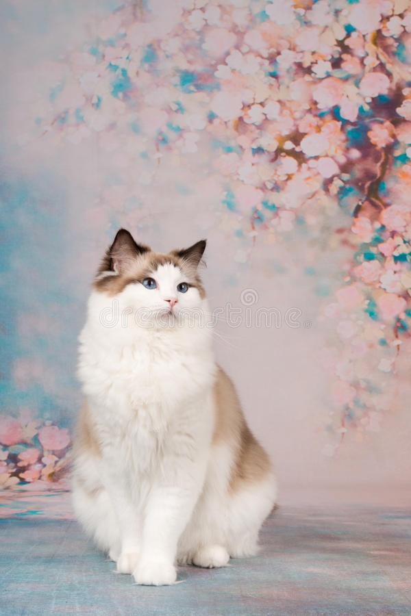 Ragdoll kot przy romantycznym tłem obrazy royalty free