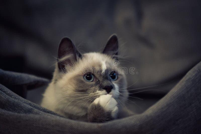 Ragdoll kota obsiadanie i przyglądający up fotografia royalty free
