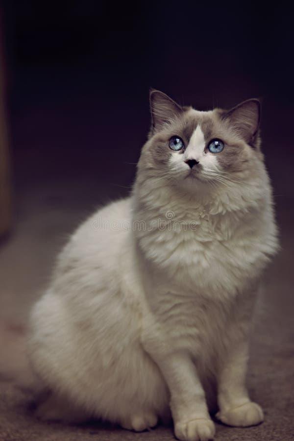 Ragdoll kota pozować zdjęcia royalty free