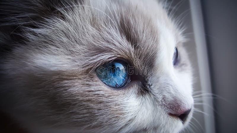 Ragdoll kota zakończenie up fotografia royalty free