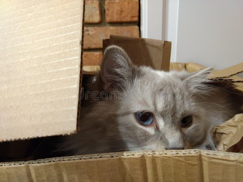 Ragdoll męski kot w pudełku obrazy stock