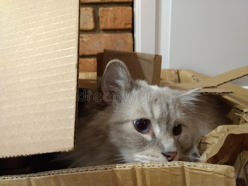 Ragdoll male cat in box stock photography