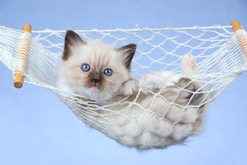 ragdoll miniature de chaton d'hamac joli photographie stock libre de droits