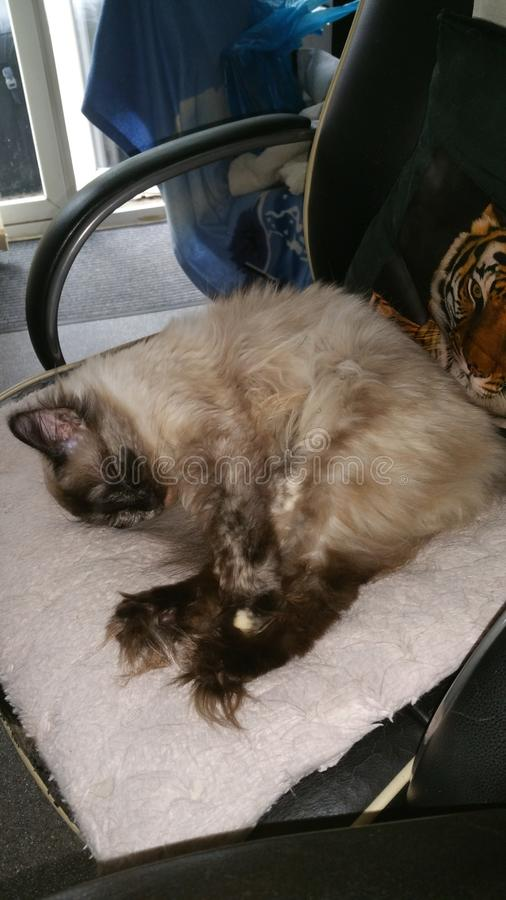 Ragdoll Mitsy royalty free stock photos