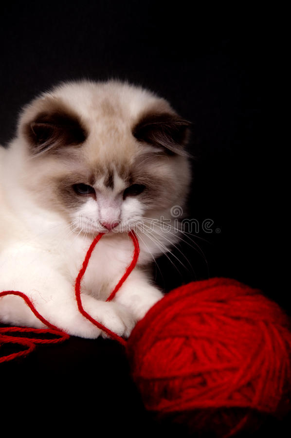 Ragdoll and red ball of yarn royalty free stock photo