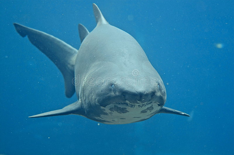 Ragged Tooth Shark stock images