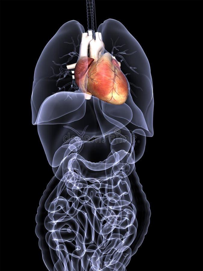 Raggi X degli organi interni - cuore illustrazione vettoriale