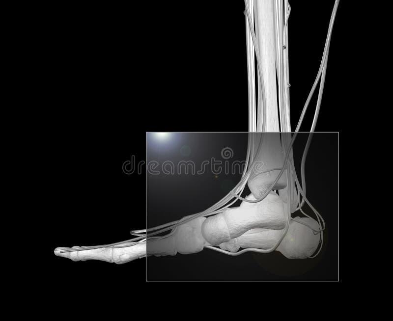 Raggi X del piede illustrazione vettoriale