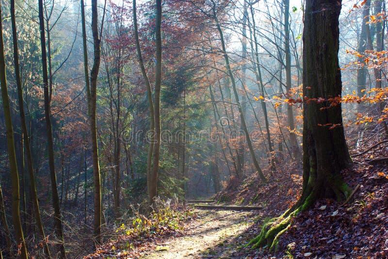 Raggi del sole che fanno posto fra gli alberi coperti di foglie arrugginite immagine stock libera da diritti