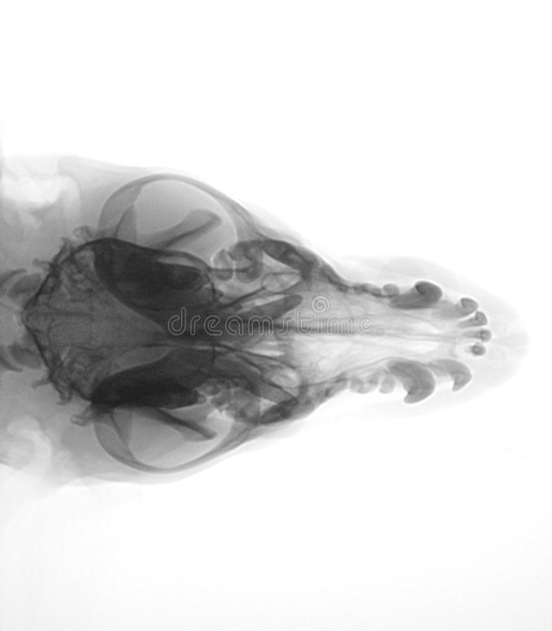Raggi X della testa di cane fotografia stock libera da diritti
