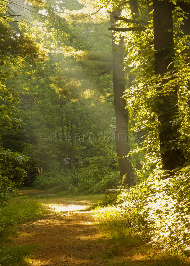 Raggi di indicatore luminoso nella foresta fotografie stock libere da diritti