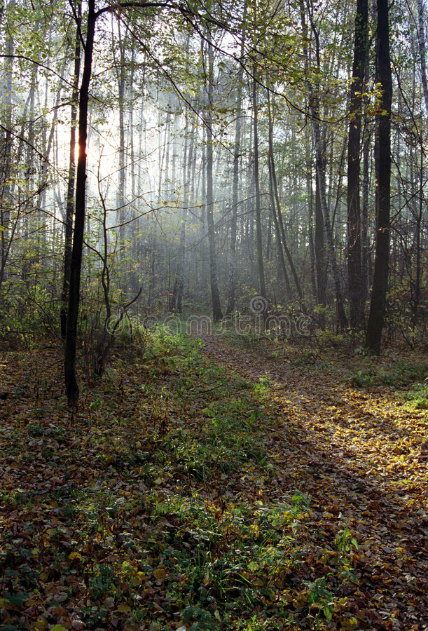 Raggi di indicatore luminoso in una foresta fotografie stock