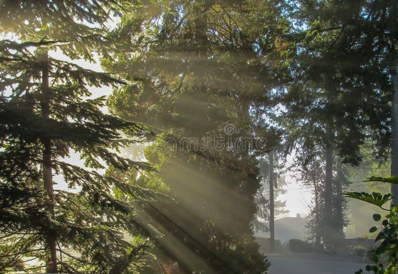 Raggi di luce solare attraverso i sempreverdi 3 immagine stock