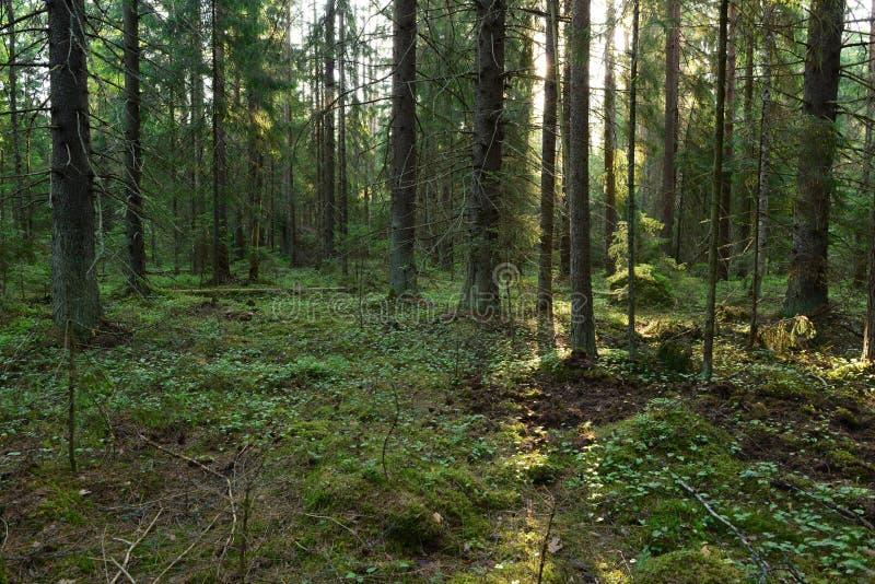 Raggi di luce solare in una scivolata magnifica della foresta di conifere lungo la terra fra gli abeti immagini stock