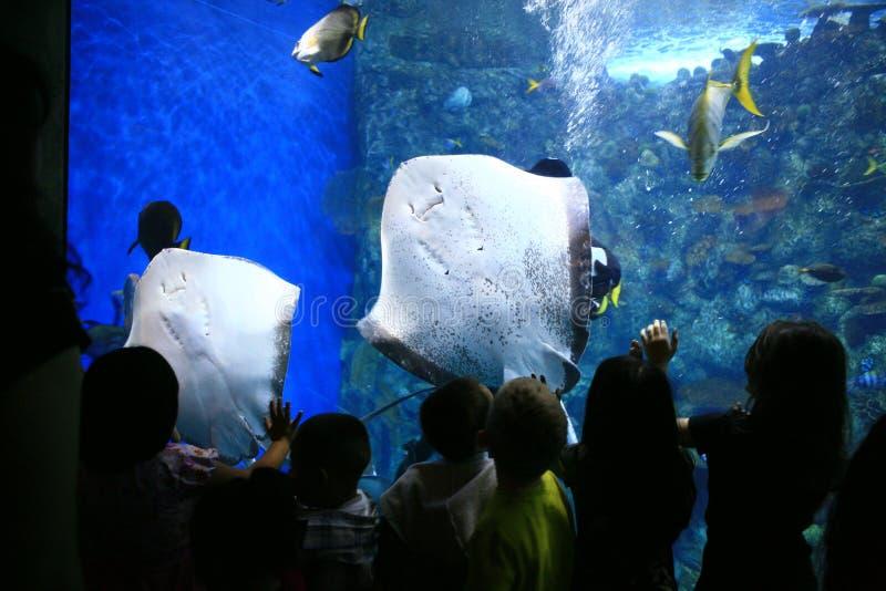 Raggi di puntura in un acquario gigante con la vigilanza dei bambini immagine stock libera da diritti