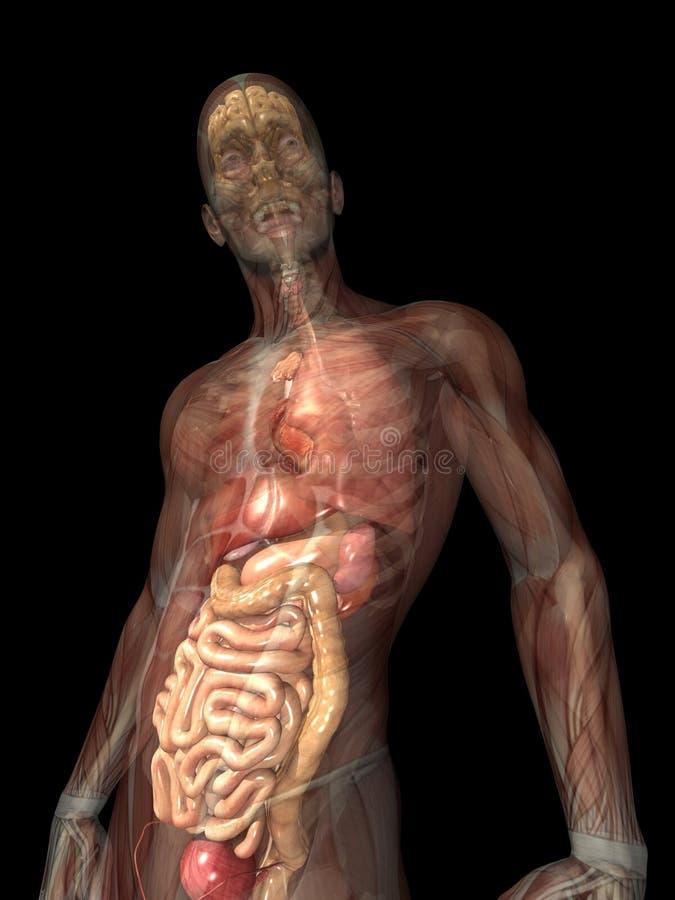 Raggi X di scheletro - organi interni illustrazione di stock