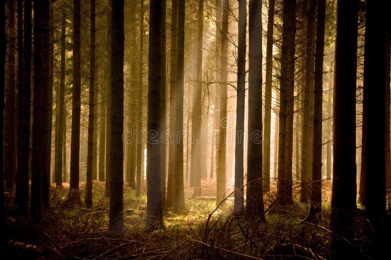 Raggi di sole caldi attraverso una foresta fotografia stock libera da diritti