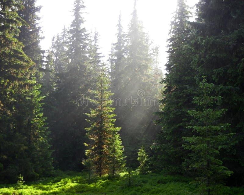 Raggi di sole che splendono su una radura verde della foresta fotografie stock