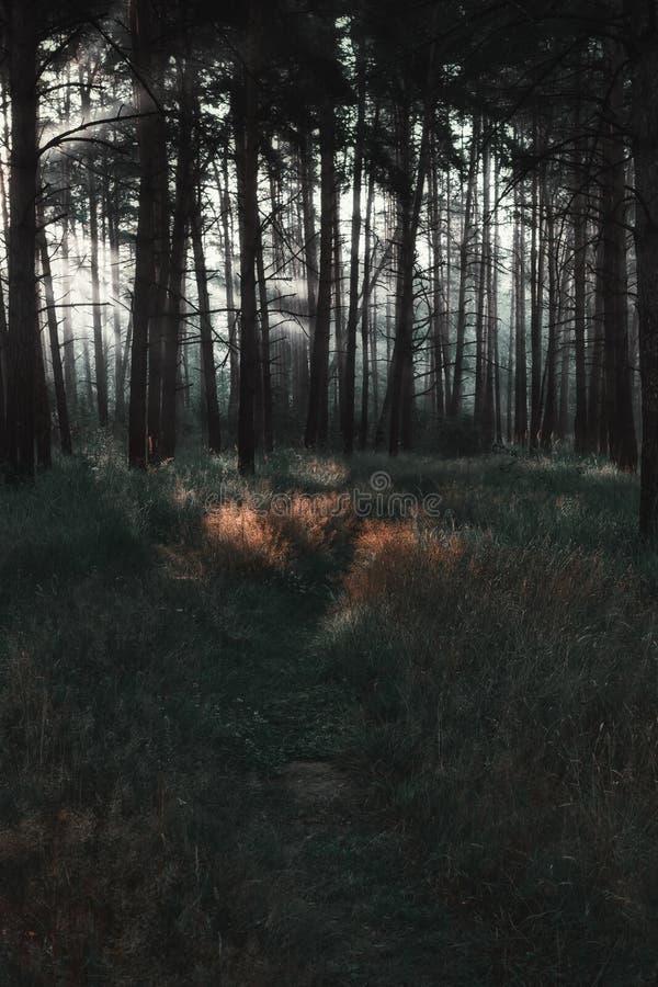 Raggi di sole sul percorso in un'abetaia scura fotografia stock libera da diritti