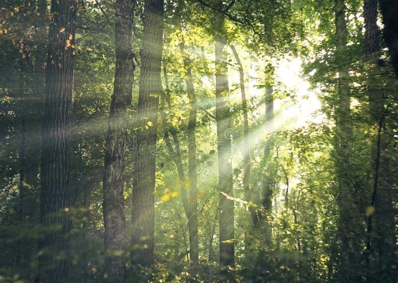 Raggi di Sun attraverso la foresta immagine stock libera da diritti