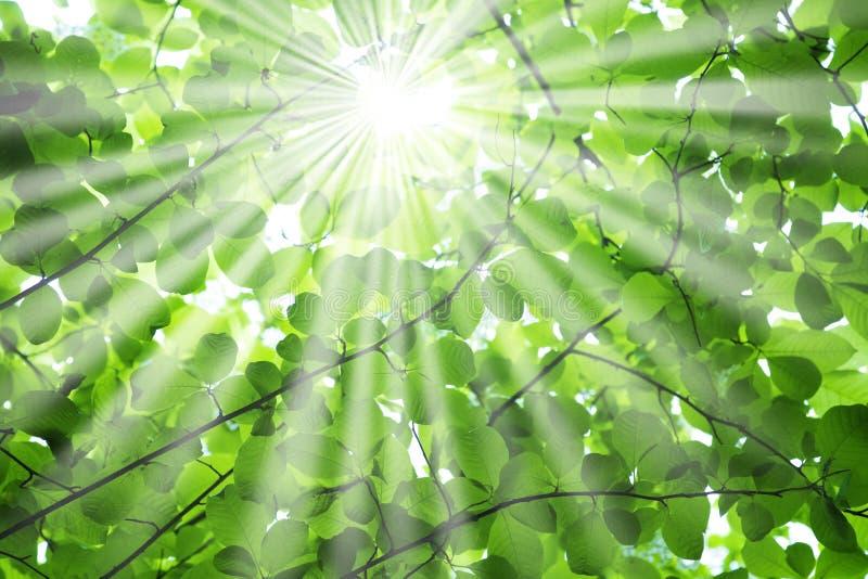 Raggi di Sun attraverso le filiali di albero immagini stock libere da diritti