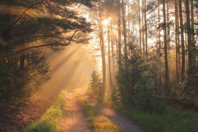 Raggi di Sun in foresta fotografie stock